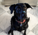 Labrador Joanna with paint on her nose